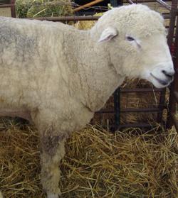 Corriedale Wool