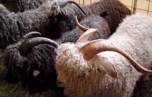 Mohair - Angora goats