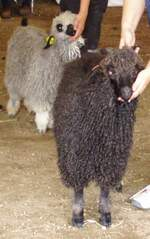 Mohair - Angora goat being judged